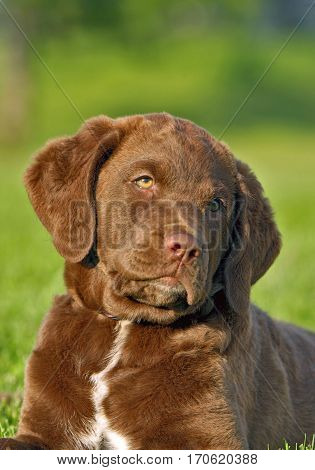 Chesapeake Bay Retriever Welpe liegt in Wiese|Chesapeake Bay Retriever puppy in grass