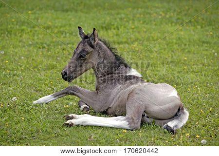 Quarter Horse Foal few week old resting in spring meadow.