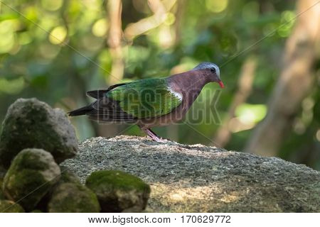 Common Asian grey-capped emerald dove pigeon bird in green standing on stone with blurred forest background in Thailand, Asia (Chalcophaps indica)
