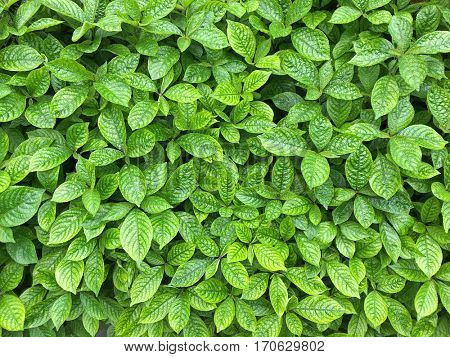Closeup of Strobilanthes crispa green leaves showing texture of leaf. Good to make herbal tea that has antidiabetic properties