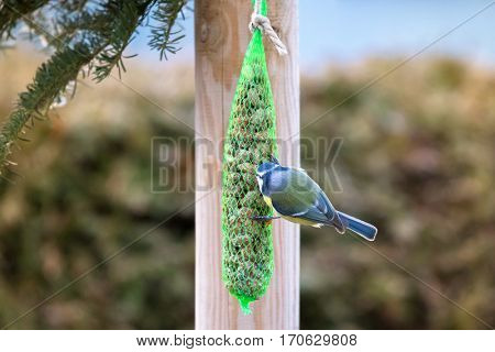 Back of Eurasian Blue Tit bird in blue yellow eating nuts inside green meshed bag with snow covering during the Winter in Europe (Parus Caeruleus, Blaumeise)
