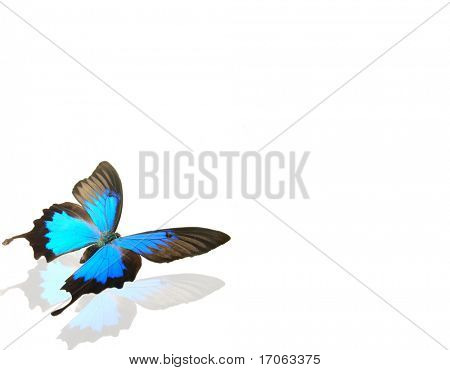 Butterfly papilio ulysses on white background
