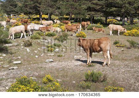 Cows grazing in Casillas Mountain Pass, Iruelas Valley Natural Park, Avila, Spain