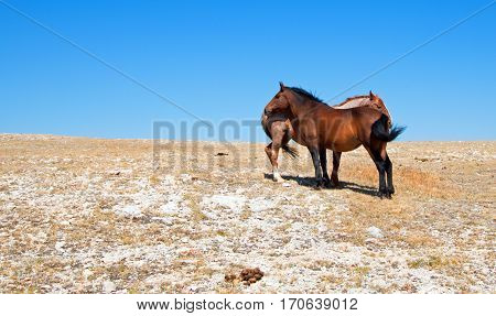 Windblown Red Roan Band Stallion With His Bay Mare On Sykes Ridge In The Pryor Mountain Wild Horse R