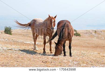 Windblown Red Roan Band Stallion with his Bay Mare on Sykes Ridge in the Pryor Mountain Wild Horse Range in Montana - Wyoming USA
