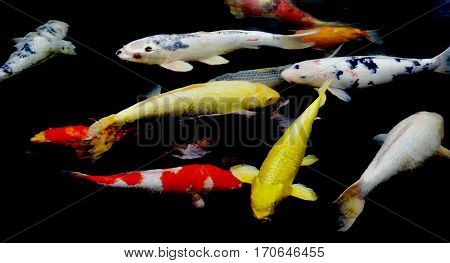 Colorful ornamental koi fish in a pond