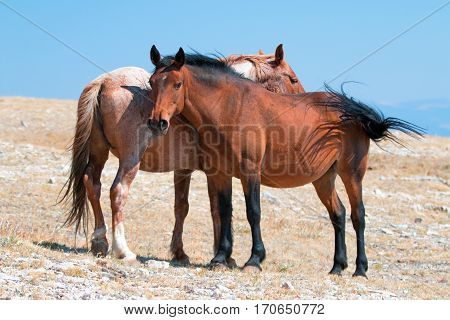 Windblown Red Roan Stallion with his Bay Mare on Sykes Ridge in the Pryor Mountain Wild Horse Range in Montana - Wyoming USA