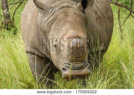 Closeup of white rhino walking towards camera without horn in Uganda