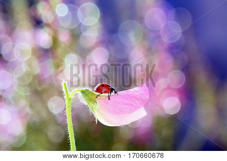 Small red ladybird like the smell of sweet pea