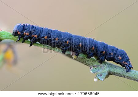 Portrait of a large dark-blue caterpillar with red spots on the sides