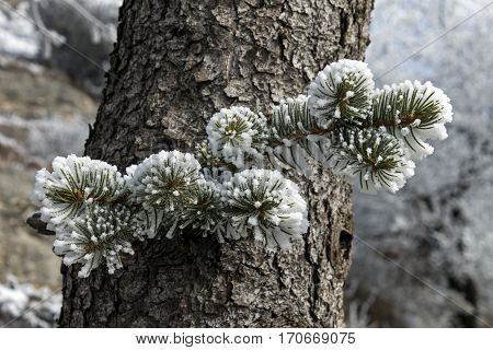 Snowy branch of spruce with needles covered in snow.