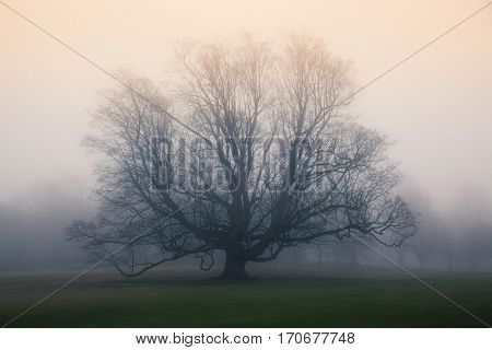 bare tree in a fog covered field