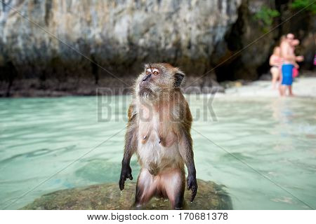 Monkey waiting for food in Monkey Beach and tourists in the background Phi Phi Islands Thailand