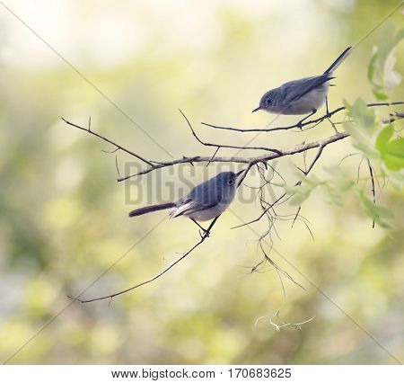 Blue-gray Gnatcatchers Perching on a tree