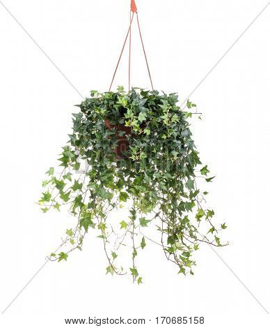 ivy leaves isolated on wall background