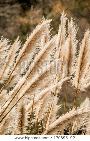 Weedy pampas grass at the Big Sur coast Los Padres National Forest California USA