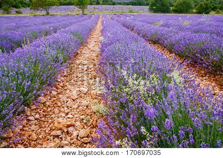 Blossoming lavender fields in Provence, France. On summer sunny day.