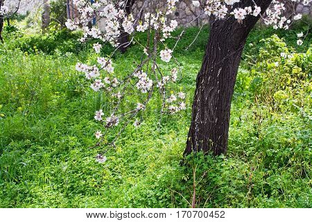 Blossoming almond flowers sunlit in fresh green grass in Mallorca Balearic islands Spain in February.