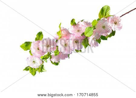 Blossoming branch of almond (PRUNUS TRILOBA) on a white background.  Selective focus