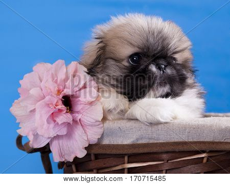 Pekingese puppy and Chinese rose