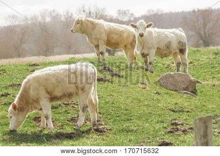 TANTOW GERMANY - APRIL 03 2015: White cows in the green field