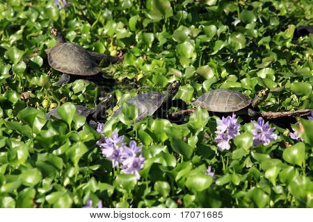 four water Painted Turtle Chrysemys picta in  a line on a bed of water lily poster