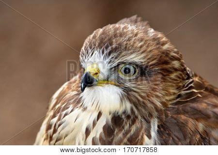Portrait bird of prey Common buzzard (Buteo buteo)