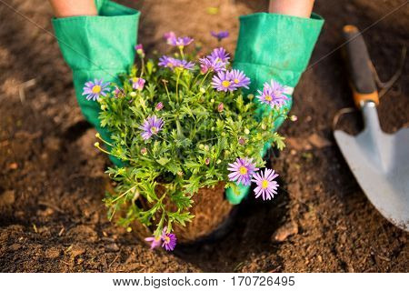 Cropped image of female gardener planting potted plant in dirt at garden