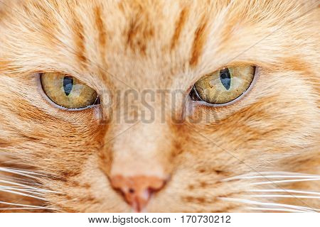 Old Red Cat