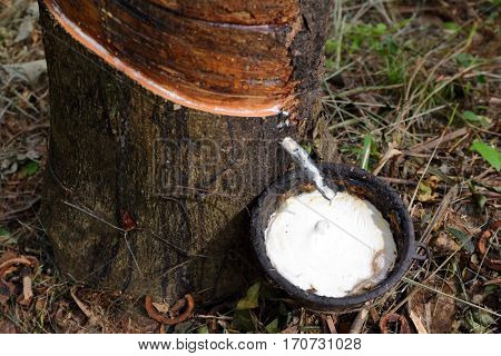 Natural latex dripping from a rubber tree at a rubber tree plantation, Thailand