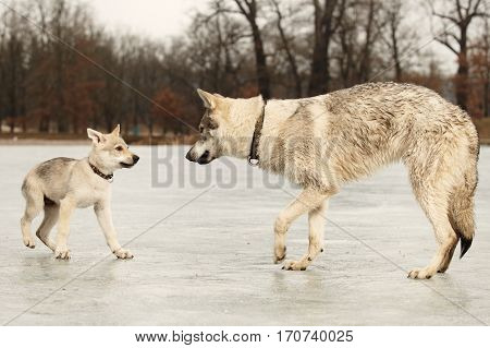 Eight months old wolfdog male puppy with three months old friend