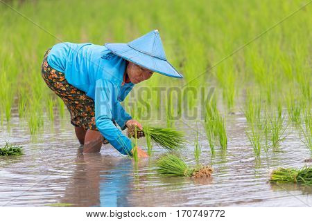 HPA-AN, MYANMAR - JANUARY 20, 2017 : A Karen tribe woman is planting new rice plant in the field in Hpa-An, Myanmar