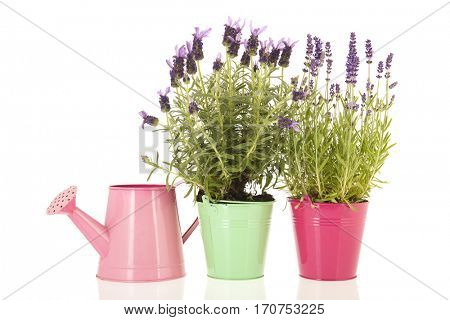 Stoechas and normal Lavender