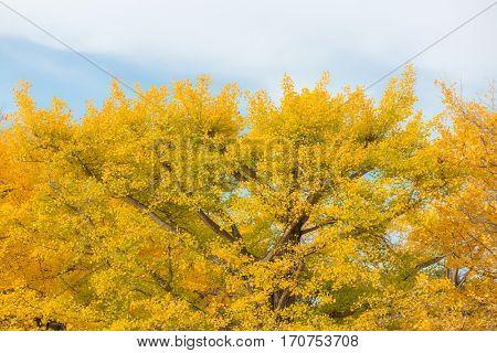 Ginkgo trees in Autumn in Tokyo Japan