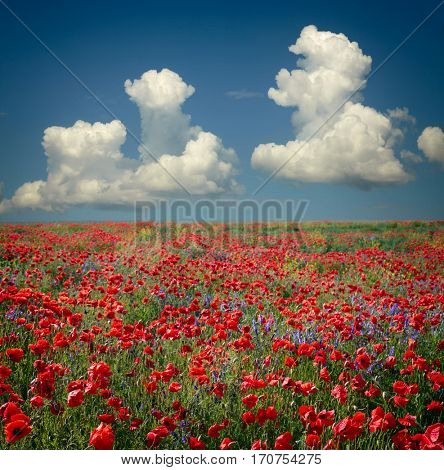 Landscape with poppy field and blue sky