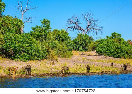 Herd of baboons at the watering. The concept of extreme and exotic tourism in Okavango Delta. Chobe National Park in Botswana