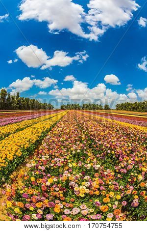 Farm field of beautiful flowers. Garden buttercups bloom in bright colors. The concept of eco-tourism. Walk on a sunny day
