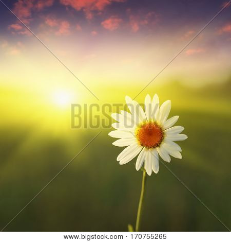 Green field,white daisy and blue sky at sunset.