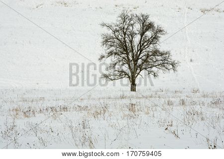 Lonely tree in the winter country. Old pear tree