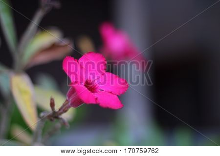 Azalea flowers fuchsia color in the garden.