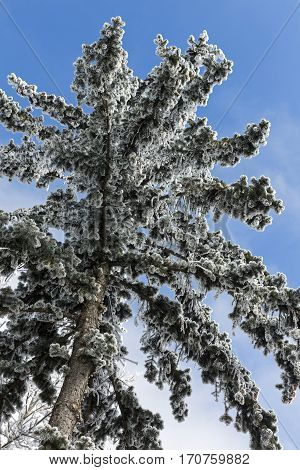 Beautiful branch covered with snow on a blue sky
