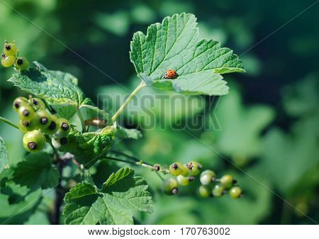 Small Ladybug Sitting On A Redcurrant Leaf