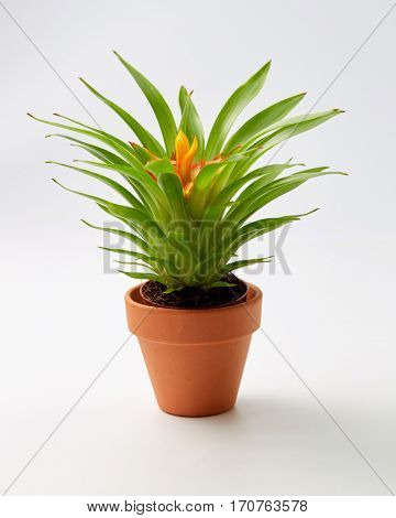 Potted Bromelia Plant. Miniature Bromelia house plant in flower pot.