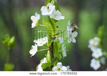 A bee drinking nectar from a blossoming cherry tree branch against the green background of the garden. Sunny spring day