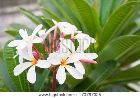 White Flower. Frangipani Plumeria Temple Tree Graveyard Tree.
