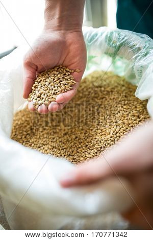 Brewer showing grains at brewery factory