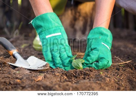 Close-up of female gardener planting seedling in dirt at botanical garden