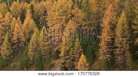 Bright Yellow Larch Tree Forest At Good Weather Day In Fall Season. Thick Coniferous Woods With No People With Golden Leaves Autumn Photo.