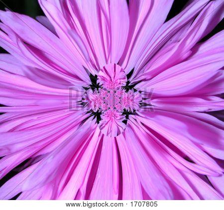 Abstract Pink Cornflower