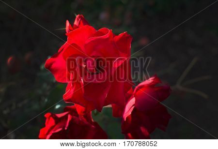 Red Sunlit Rose